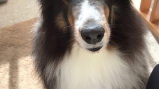 うちの看板犬(≧∇≦)