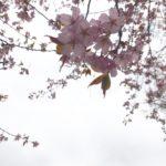 桜🌸の開花経過を撮ってみた(#^.^#)
